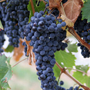 Photo: Grape Extract Kills Cancer Cells