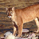 Photo: Federal researchers declare eastern cougar extinct