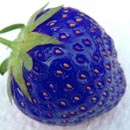 Photo: Scientists make blue strawberries by splicing them with fish genes