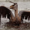 Oil Covered Pelican