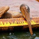An exhausted oil-covered pelican