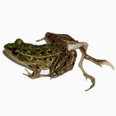 Photo: Farm Chemicals Cause Increase of Deformed Frogs