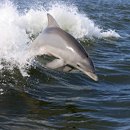 Dolphins Brought Body Of Grand Isle Drowning Victim To Shore