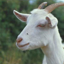 Photo: 'Mad Cow' Disease Found in Goat