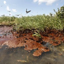 Photo: Cleaning oil-soaked wetlands may be impossible