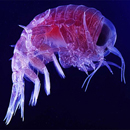 Photo: Plankton, base of ocean food web, in big decline