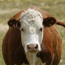 Photo: Don't Worry About New Alabama Mad Cow, Says CDC, but Facts Suggest Otherwise