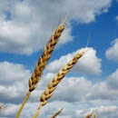 Photo: Wheat prices hit record high